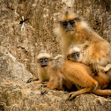 Yellow-handed Mitered Langur