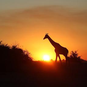 Giraffe during Sunset by Arun Prasanna - Animals Other Mammals ( #africa #giraffe #sunset #silhouette )