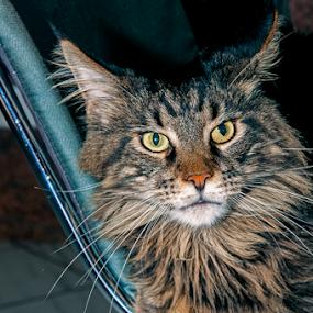 Chillin` by Luana Racan - Animals - Cats Portraits