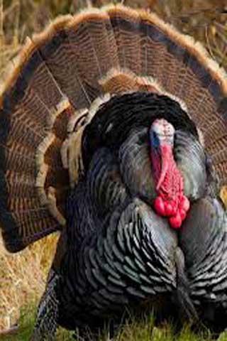 How To Draw Turkey Chicken