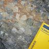 Yellow map Lichen