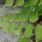 silver dollar fern or Peruvian maidenhair