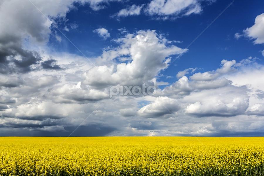 Yellow sea by Viorel Stanciu - Landscapes Prairies, Meadows & Fields ( clouds, field, skyline, sky, field flower, cloudscape,  )