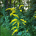 Field Goldenrod