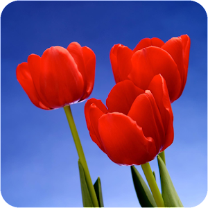 Tulip Wallpapers apk