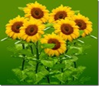 _a_sunflower2
