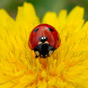 Mariquita de siete puntos (Seven-spot Ladybird)