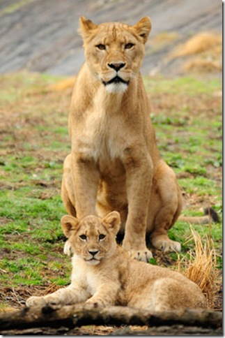 African-lion-cub-picture-1