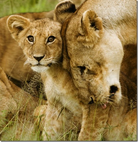 Lion_cub_with_mother_-_cropped