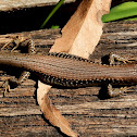 Southern Water Skink