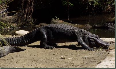 gator walking (2)
