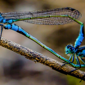 Blue Love by Charlotte Hellings - Animals Other ( love, macro, blue, dragonfly,  )