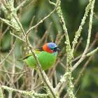 Saira-de-lenço (Red-necked Tanager)