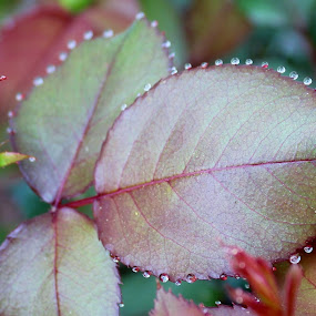 Little pearls by Sona Decker - Nature Up Close Trees & Bushes (  )