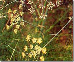 Adas (Foeniculum vulgare Mill)