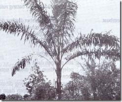 Enau (Arenga pinnata, Merr.)