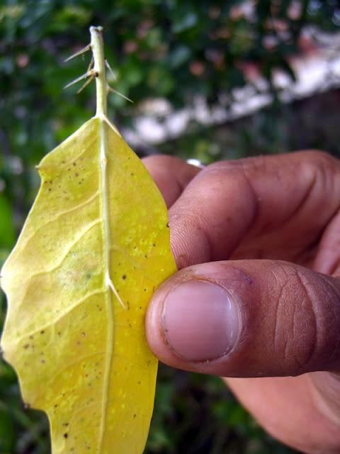 Faveleira leaf
