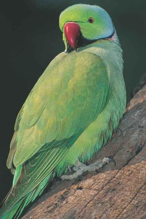 Rose-ringed parakeet (Birds)