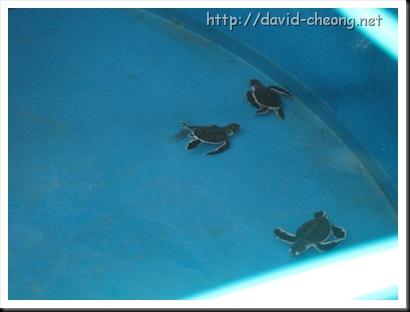 Turtle at pantai kerachut