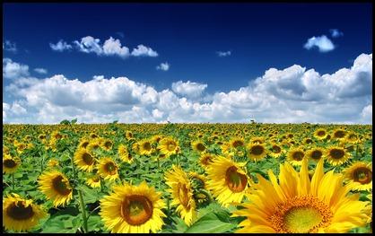 summer_sunflowers_1920