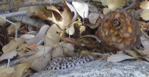 One tiny little rattlesnake, tightly coiled on a rock in the shade.  Note the size of the leaves and the pine cone next to it.
