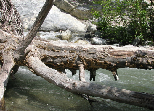 Mushrooms on a log hanging out over the river.