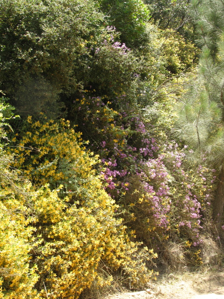 Hillside of yellow monkey flower and such.