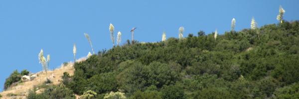 yucca like telephone poles