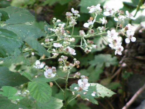 a few raspberry flowers