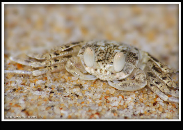 small beach crab picture