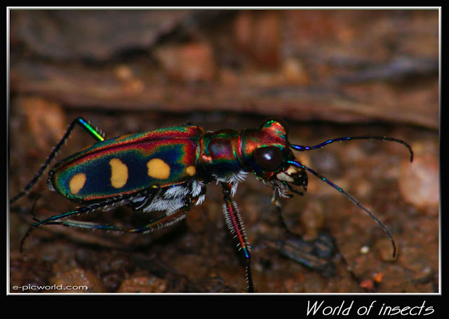 long horn tiger beetle picture