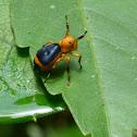 Velvet Ant Mimic Jumping Spider