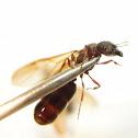 Camponotus Formosensis
