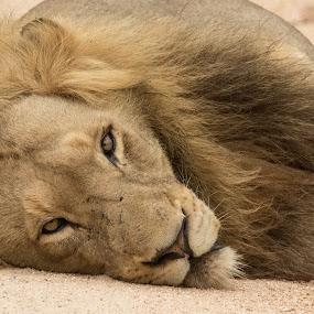 Lazy Lion by Barbara Nolte - Animals Lions, Tigers & Big Cats ( cats, big cat, lion, sabi sands, kruger national park, safari, south africa, wildlife, big 5, game reserve, african wildlife, africa )