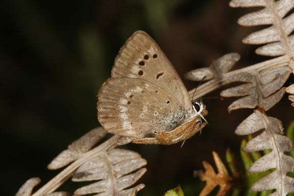 Orachrysops niobe TRIMEN, 1862, mâle, verso. Photo : A. Coetzer (12 février 2008)