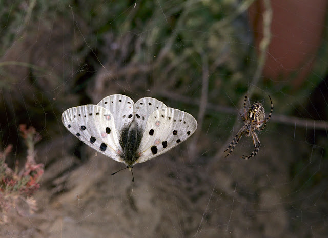 Parnassius (Parnassius) apollonius narynus FRUHSTORFER, 1908, mâle, capturé par une araignée. Tian Shan, Baybiche Tau, (2250 m), Kyrgyzistan, juillet 2009. Photo : V. Pletnev