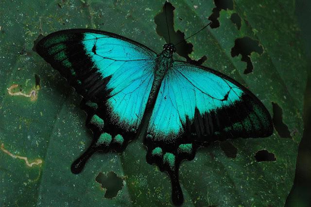 Papilio lorquinianus albertisi OBERTHÜR, 1880. Warkapi, Arfak, août 2007. Photo : G. Zakine