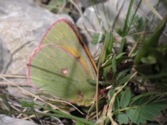 Colias thisoa aeolides GRUM-GRSHIMAÏLO, 1890. Kara-Say (3600 m), Koksaal Alatau, Kyrgyzistan, 12 juillet 2006. Photo : Jean Michel