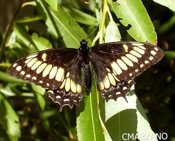 Papilio (Pterourus) hellanichus, Escobar, Provincia de Buenos Aires. Fecha : 2 de Marzo de 2007. Carlos Marzano
