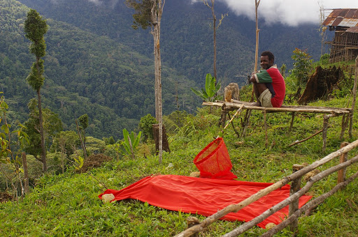Chasse aux ornithoptères avec un leurre rouge. Meni, Arfak, août 2007. Photo : J.-M. Gayman