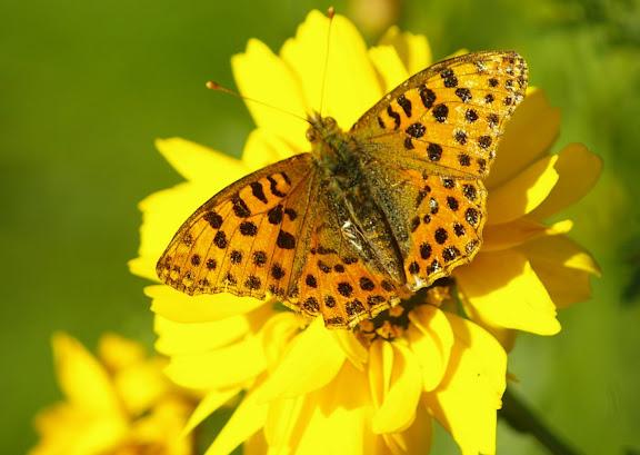 Issoria lathonia femelle, les Hautes-Lisières (28260). Photo : J.-M. Gayman. 8 septembre 2008