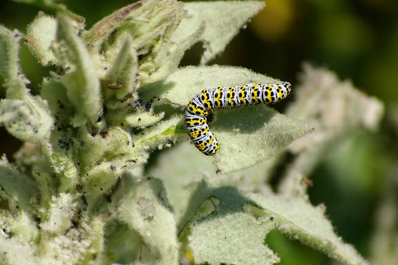 Noctuidae : cuculliinae : chenille de Shargacucullia scrophulariae DENIS & SCHIFFERMÜLLER, 1775. Les Hautes-Lisières, 30 mai 2009. Photo : J.-M. Gayman