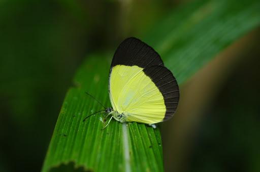 Eurema puella BOISDUVAL, 1832, mâle. Mokwam (Arfak), 20 août 2007. Photo : G. Zakine