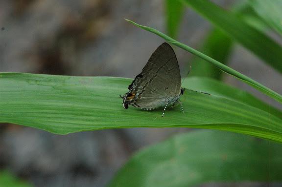 Hypolycaena phorbas FABRICIUS, 1793. Warkapi, Arfak, 27 août 2007. Photo : G. Zakine