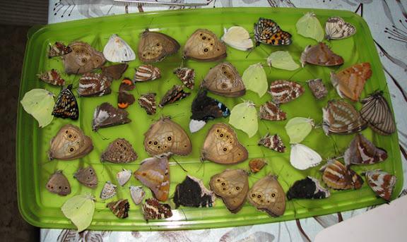 Divers rhopalocères de l'Oussouri, collectés entre Spassk et Arsen'ev. Citons, entre autres, en haut, de gauche à droite : Ninguta schrenkii MÉNÉTRIES, 1859 ; Sephisa princeps FIXSEN, 1887 ; Gonopteryx mahaguru aspasia MÉNÉTRIES, 1859 ; Melanargia halimede MÉNÉTRIES, 1859. Au milieu : Kanisca kanace, LINNAEUS, 1763 (taches bleues à l'apex). Au milieu, à droite : Kirinia epaminondas STAUDINGER, 1887. En bas, toujours de gauche à droite : Kirinia epimenides MÉNÉTRIES, 1859 ; Apatura ilia praeclara BOLLOW, 1930 ; Araschnia levana LINNAEUS, 1758 ; Nymphalis antiopa LINNAEUS, 1758 ; Neptis tschetverikovi, TUZOV, 1993 ; Limenitis sidyi LEDERER, 1853. Photo : Yuri Berezhnoi