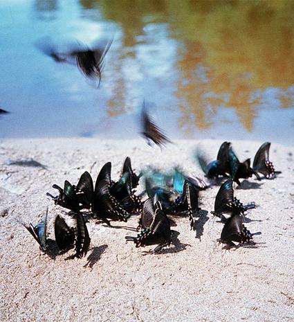 Rassemblement de Papilio maackii MÉNÉTRIES, 1859, sur la berge d'une rivière. Photo : Yuri Shibnev