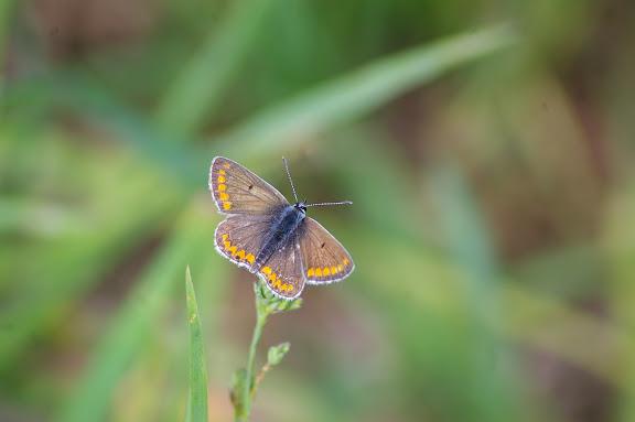 Aricia agestis DENIS & SCHIFFERMÜLLER, 1775, femelle. Hautes-Lisières (Rouvres, 28), 2 juin 2010. Photo : J.M. Gayman