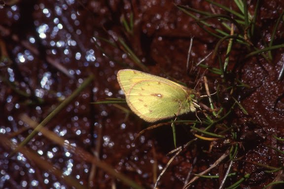 Coliadinae : Colias lesbia FABRICIUS, 1807. Vallée de Kosñipata, nov. 2009. Photo : B. H. Purser