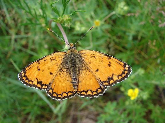 Melitaea sibina ALPHÉRAKY, 1881 (1900 m). Kekemeren, 1er juillet 2006. Photo : E. Zinszner