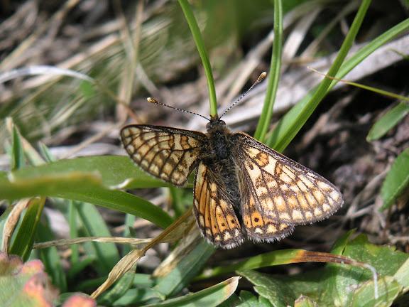 Euphydryas asiatica STAUDINGER, 1881. Vallon de Gelley-Karagaï (vallée de Ak-Suu, au Nord de Semienovka), Kungey Ala Too, Kirghizstan, 5 juillet 2006. Photo : F. Michel